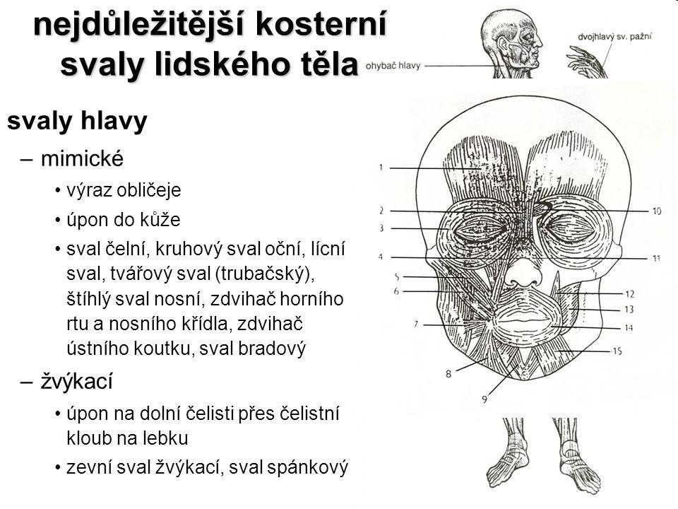 nejdůležitější kosterní svaly lidského těla