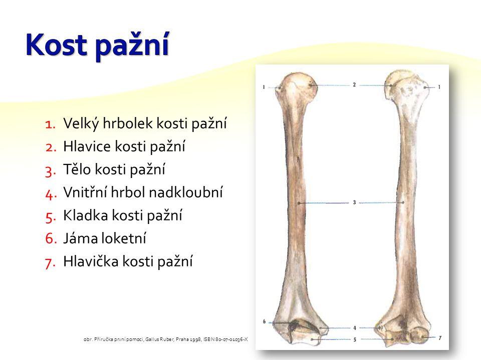 Kost pažní Velký hrbolek kosti pažní Hlavice kosti pažní