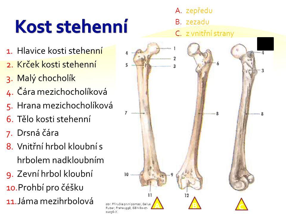 Kost stehenní Hlavice kosti stehenní Krček kosti stehenní