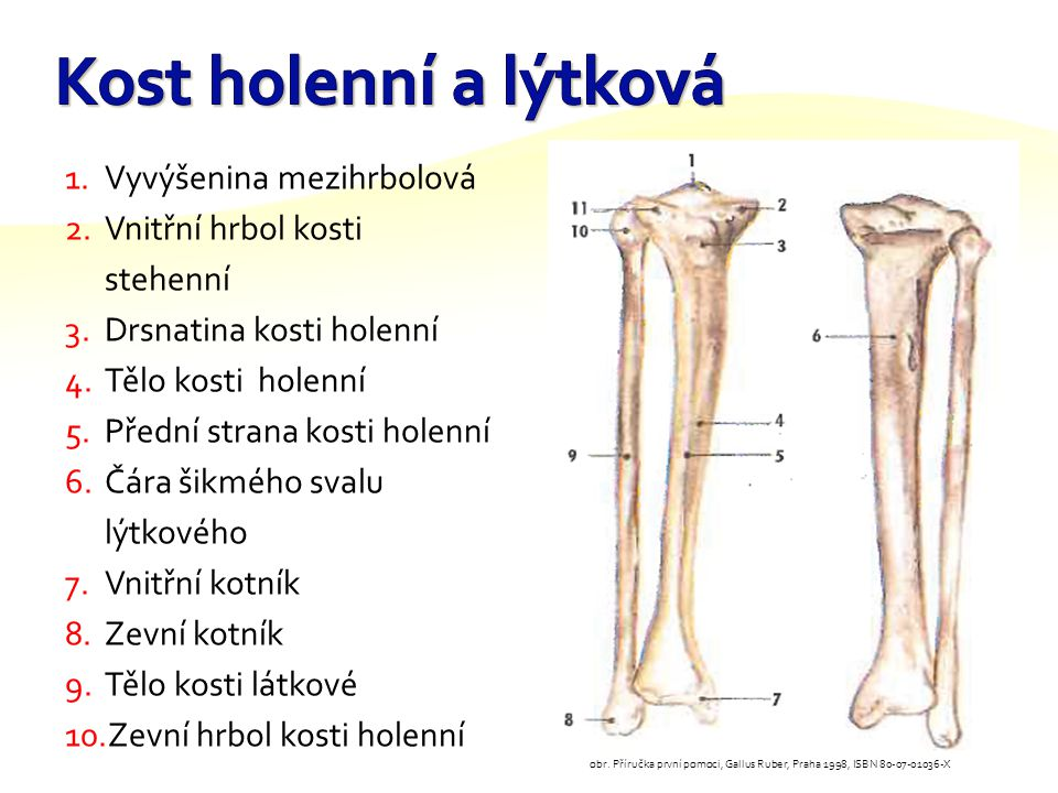 Kost holenní a lýtková Vyvýšenina mezihrbolová