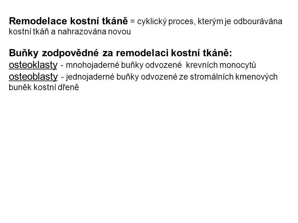 Remodelace kostní tkáně = cyklický proces, kterým je odbourávána kostní tkáň a nahrazována novou