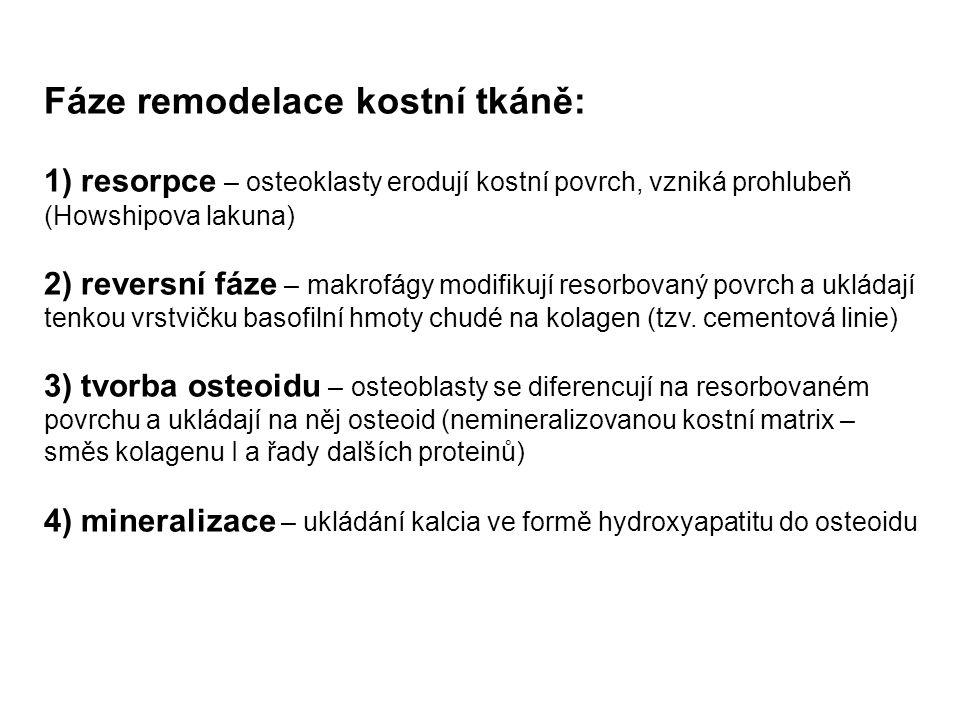 Fáze remodelace kostní tkáně: