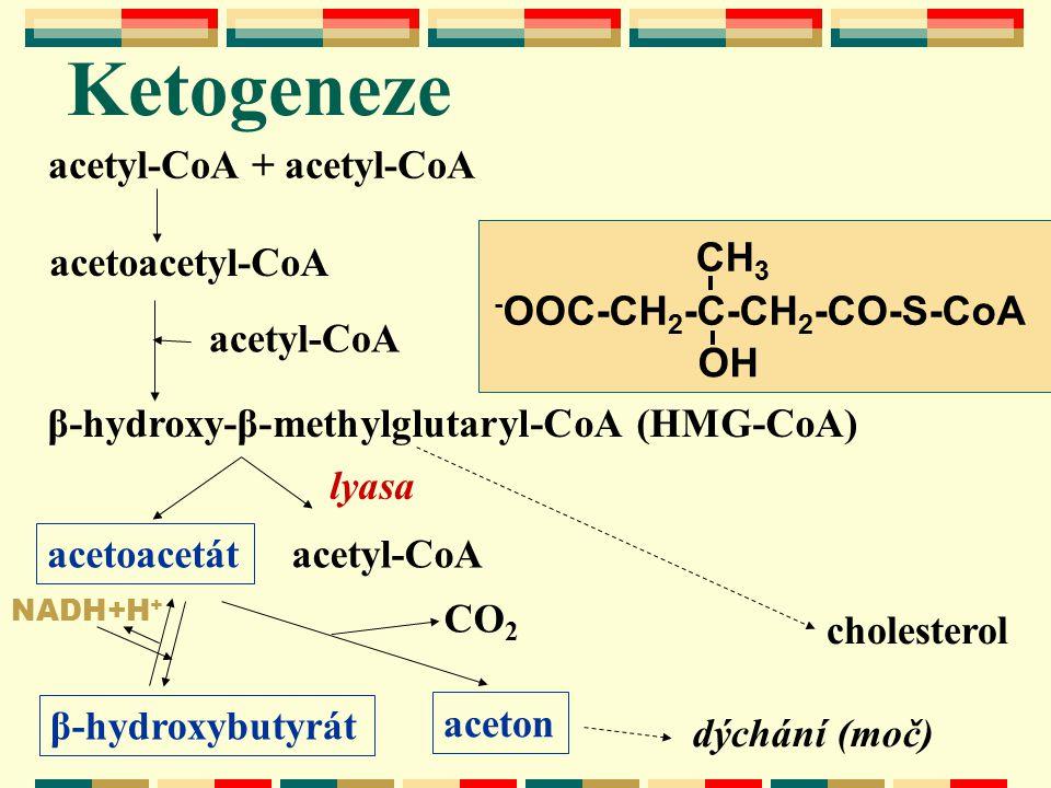 Ketogeneze acetyl-CoA + acetyl-CoA CH3 -OOC-CH2-C-CH2-CO-S-CoA OH