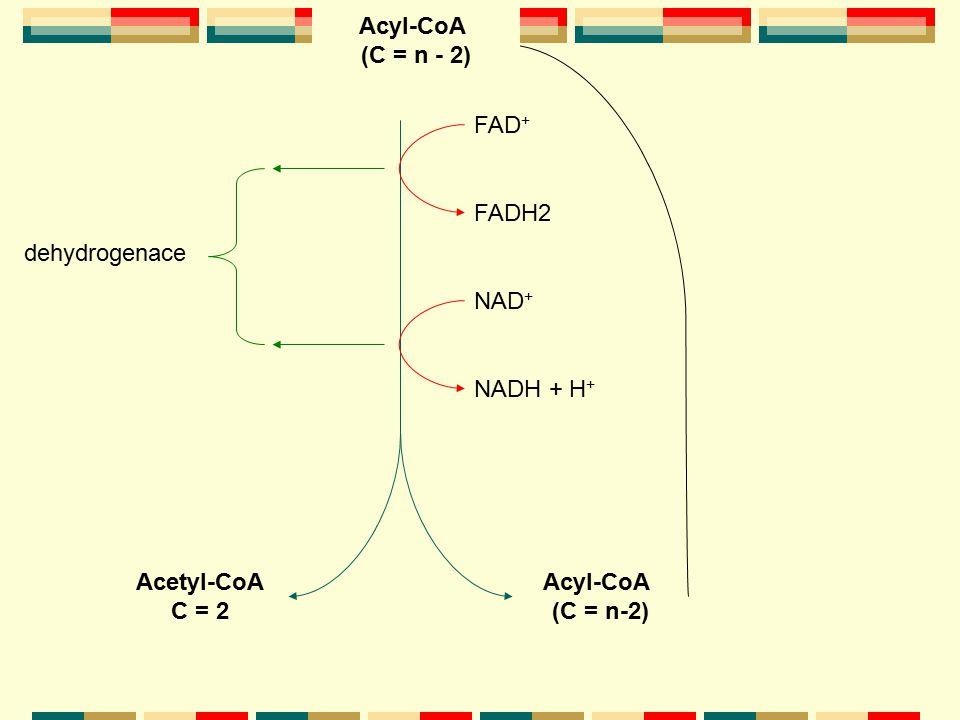 Acyl-CoA (C = n - 2) Acyl-CoA. (C = n) FAD+ FADH2. dehydrogenace. NAD+ NADH + H+ Acetyl-CoA.