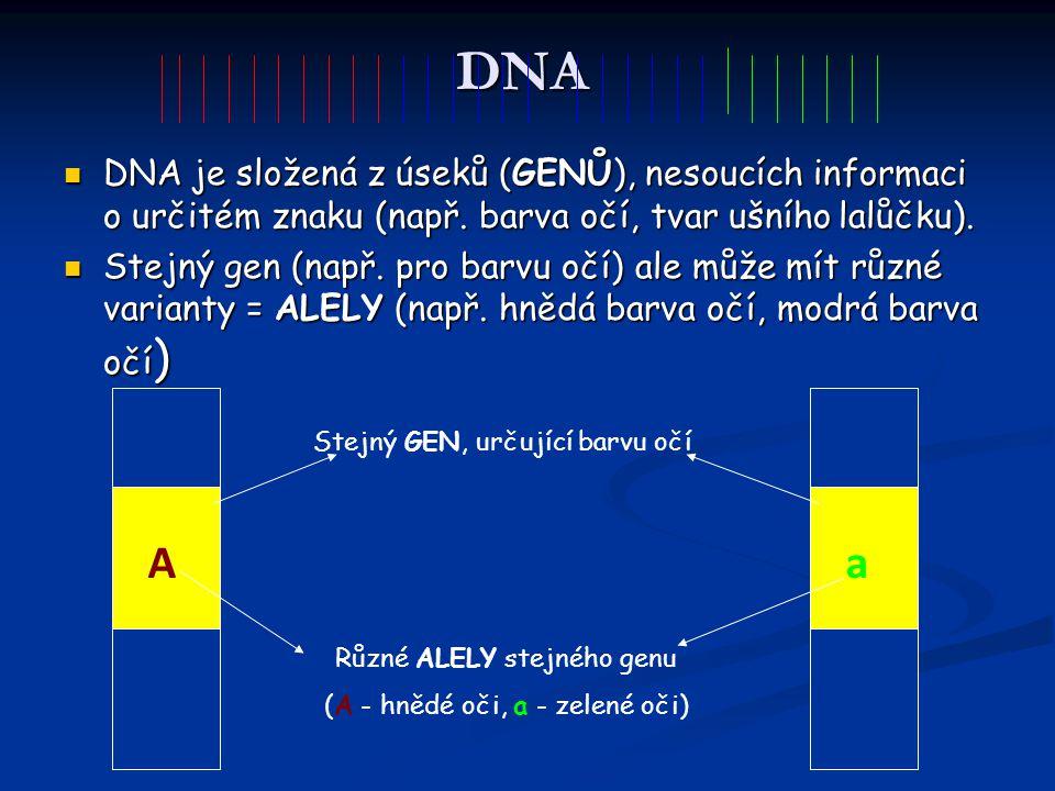 DNA DNA je složená z úseků (GENŮ), nesoucích informaci o určitém znaku (např. barva očí, tvar ušního lalůčku).