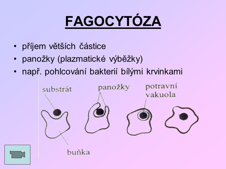FAGOCYTÓZA příjem větších částice panožky (plazmatické výběžky)