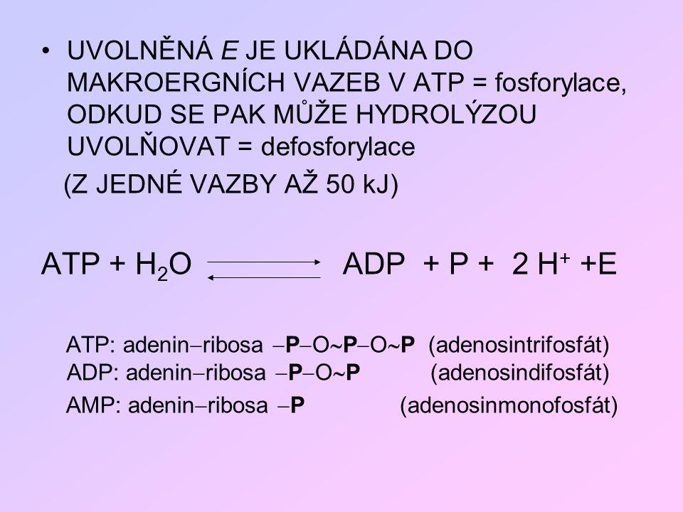UVOLNĚNÁ E JE UKLÁDÁNA DO MAKROERGNÍCH VAZEB V ATP = fosforylace, ODKUD SE PAK MŮŽE HYDROLÝZOU UVOLŇOVAT = defosforylace