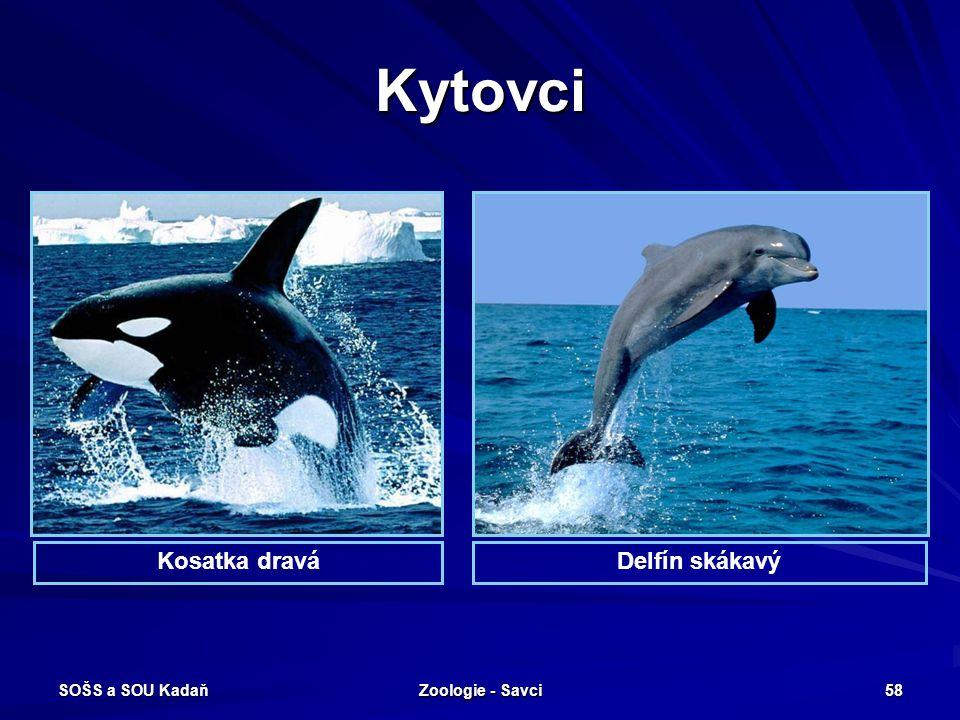 Kytovci Kosatka dravá Delfín skákavý SOŠS a SOU Kadaň Zoologie - Savci