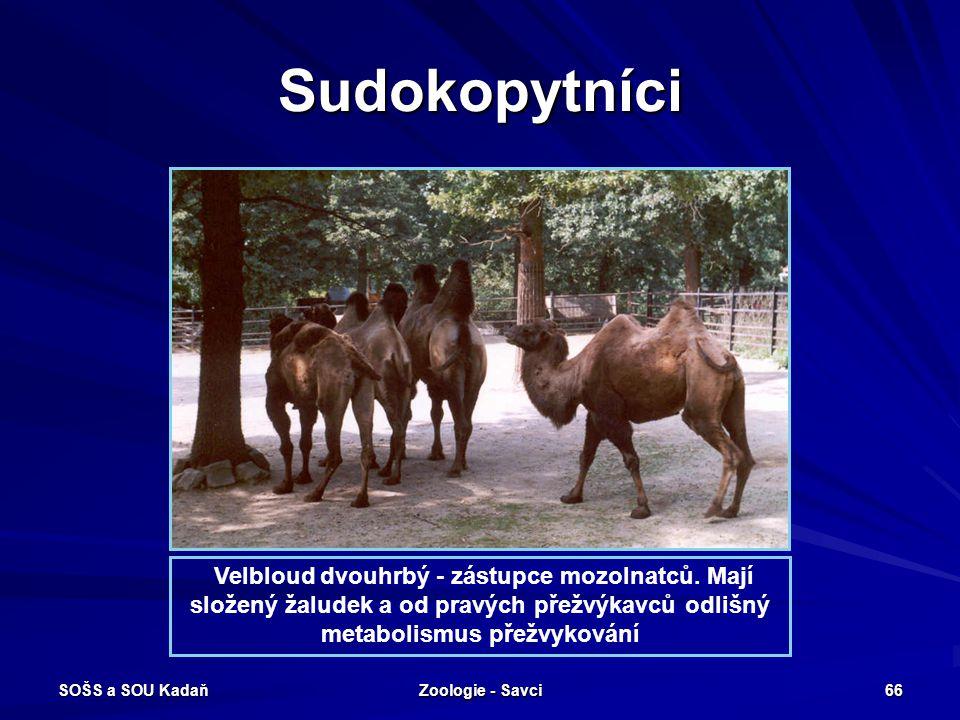 Sudokopytníci Velbloud dvouhrbý - zástupce mozolnatců. Mají složený žaludek a od pravých přežvýkavců odlišný metabolismus přežvykování.