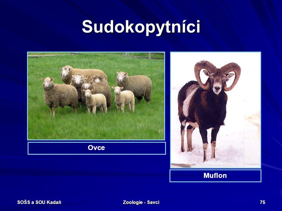 Sudokopytníci Ovce Muflon SOŠS a SOU Kadaň Zoologie - Savci
