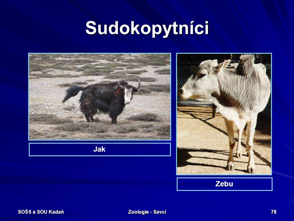 Sudokopytníci Jak Zebu SOŠS a SOU Kadaň Zoologie - Savci