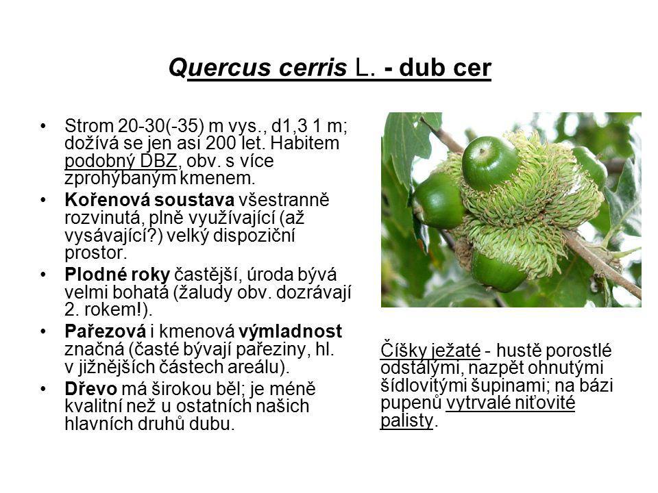 Quercus cerris L. - dub cer