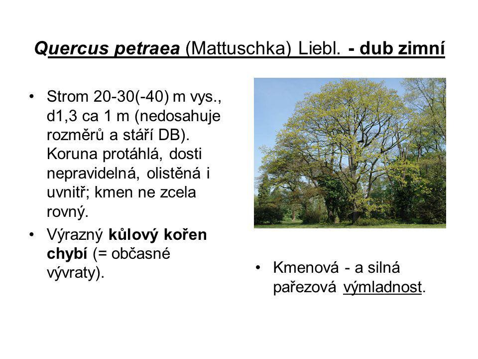 Quercus petraea (Mattuschka) Liebl. - dub zimní