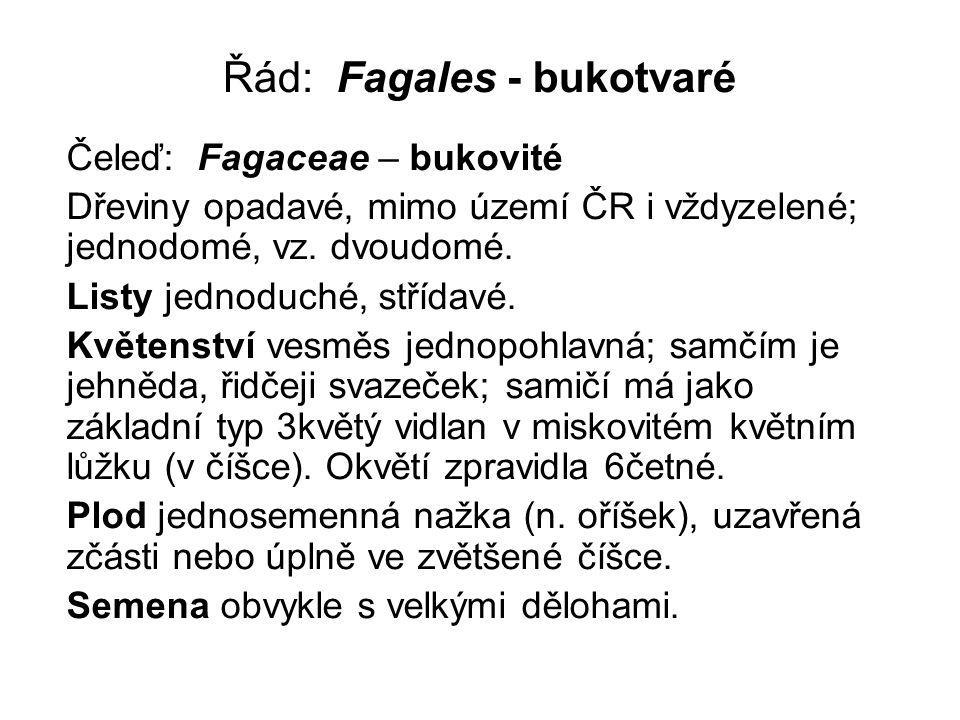 Řád: Fagales - bukotvaré