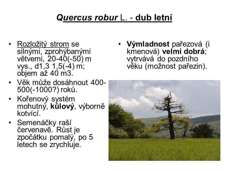 Quercus robur L. - dub letní
