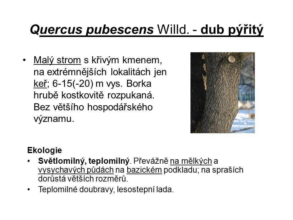 Quercus pubescens Willd. - dub pýřitý