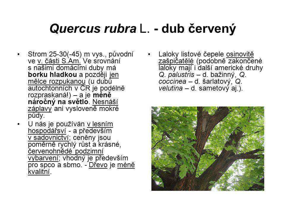 Quercus rubra L. - dub červený