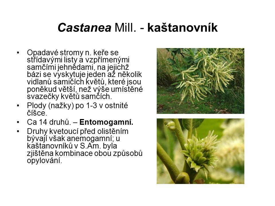 Castanea Mill. - kaštanovník
