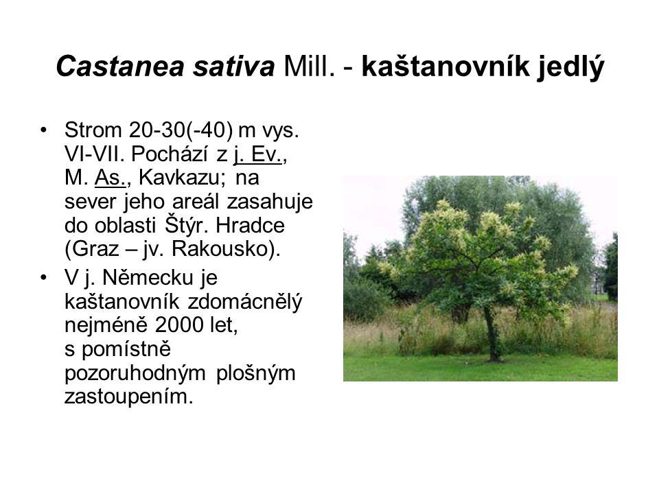 Castanea sativa Mill. - kaštanovník jedlý