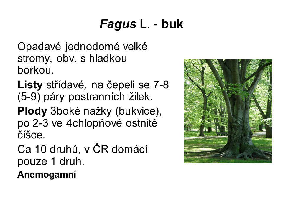 Fagus L. - buk Opadavé jednodomé velké stromy, obv. s hladkou borkou.