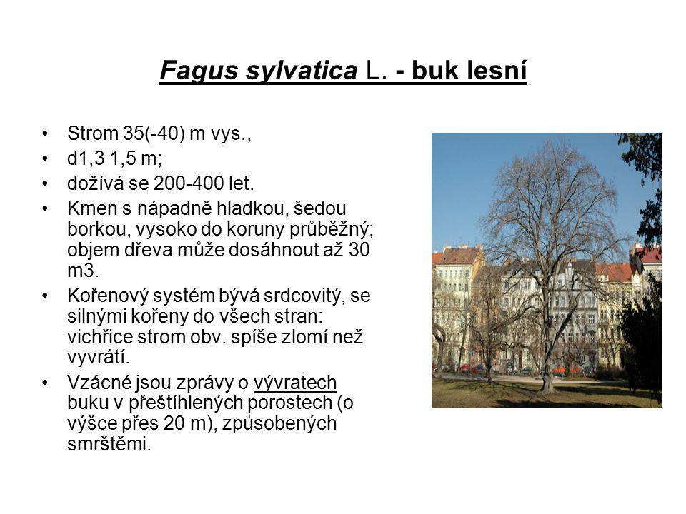 Fagus sylvatica L. - buk lesní