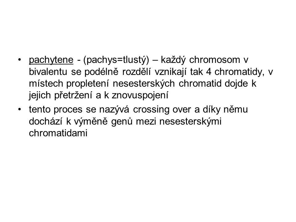 pachytene - (pachys=tlustý) – každý chromosom v bivalentu se podélně rozdělí vznikají tak 4 chromatidy, v místech propletení nesesterských chromatid dojde k jejich přetržení a k znovuspojení