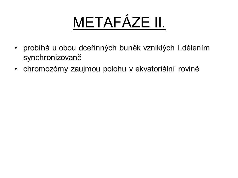 METAFÁZE II. probíhá u obou dceřinných buněk vzniklých I.dělením synchronizovaně.