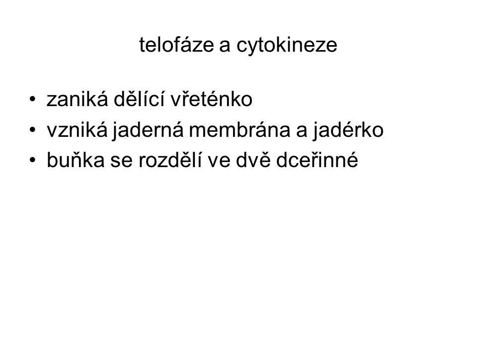 telofáze a cytokineze zaniká dělící vřeténko. vzniká jaderná membrána a jadérko.