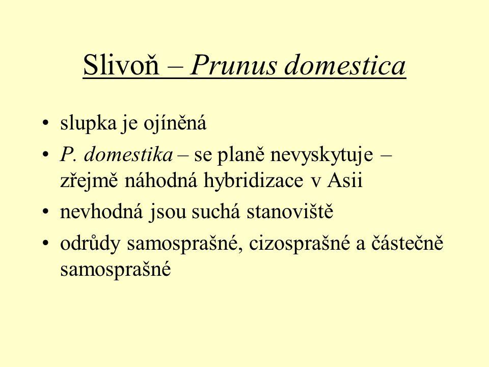 Slivoň – Prunus domestica