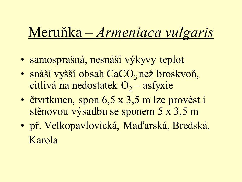 Meruňka – Armeniaca vulgaris