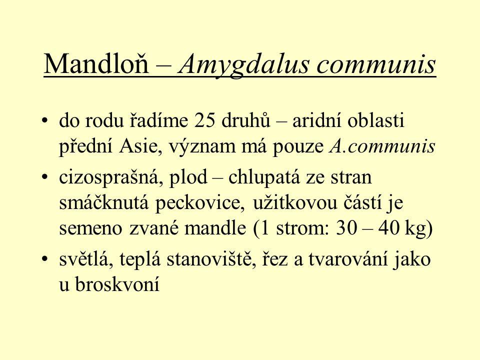 Mandloň – Amygdalus communis