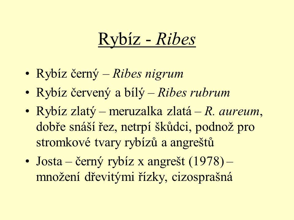 Rybíz - Ribes Rybíz černý – Ribes nigrum
