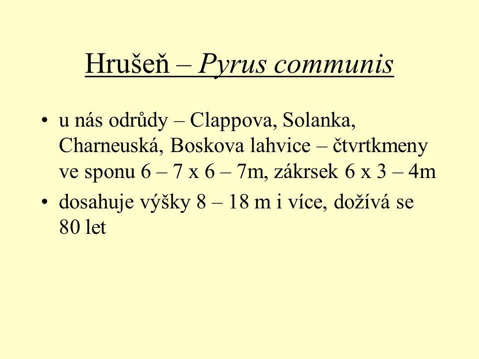 Hrušeň – Pyrus communis