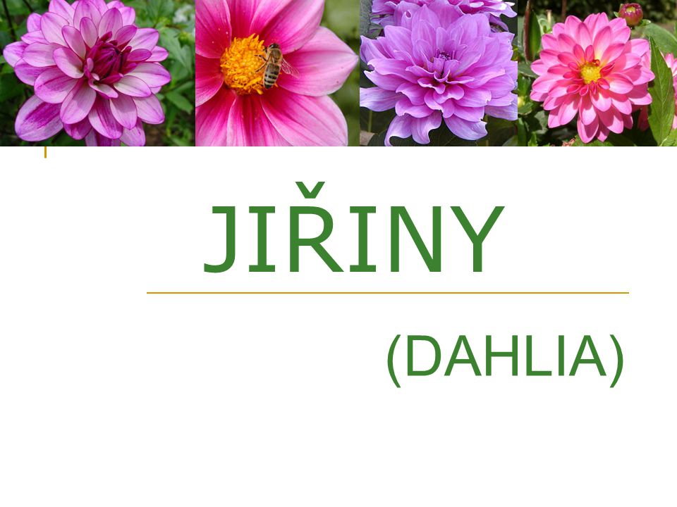 JIŘINY (DAHLIA)