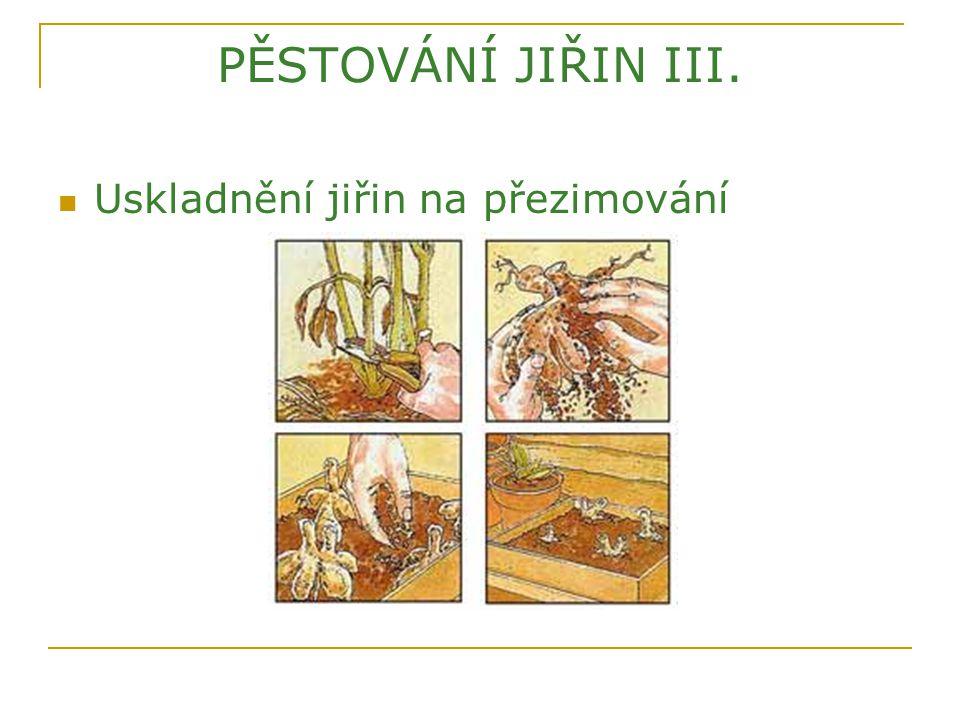 PĚSTOVÁNÍ JIŘIN III. Uskladnění jiřin na přezimování
