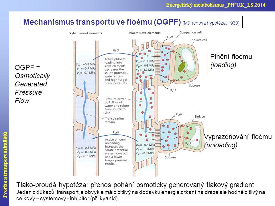 Mechanismus transportu ve floému (OGPF) (Münchova hypotéza, 1930)