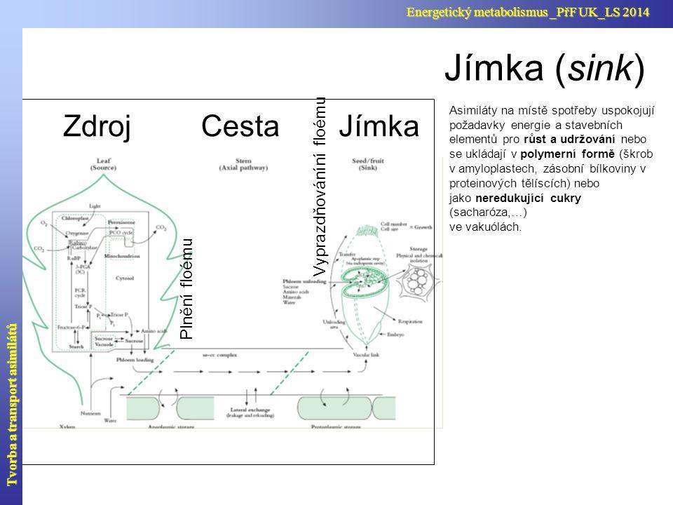 Jímka (sink) Cesta Zdroj Jímka Vyprazdňováníní floému Plnění floému