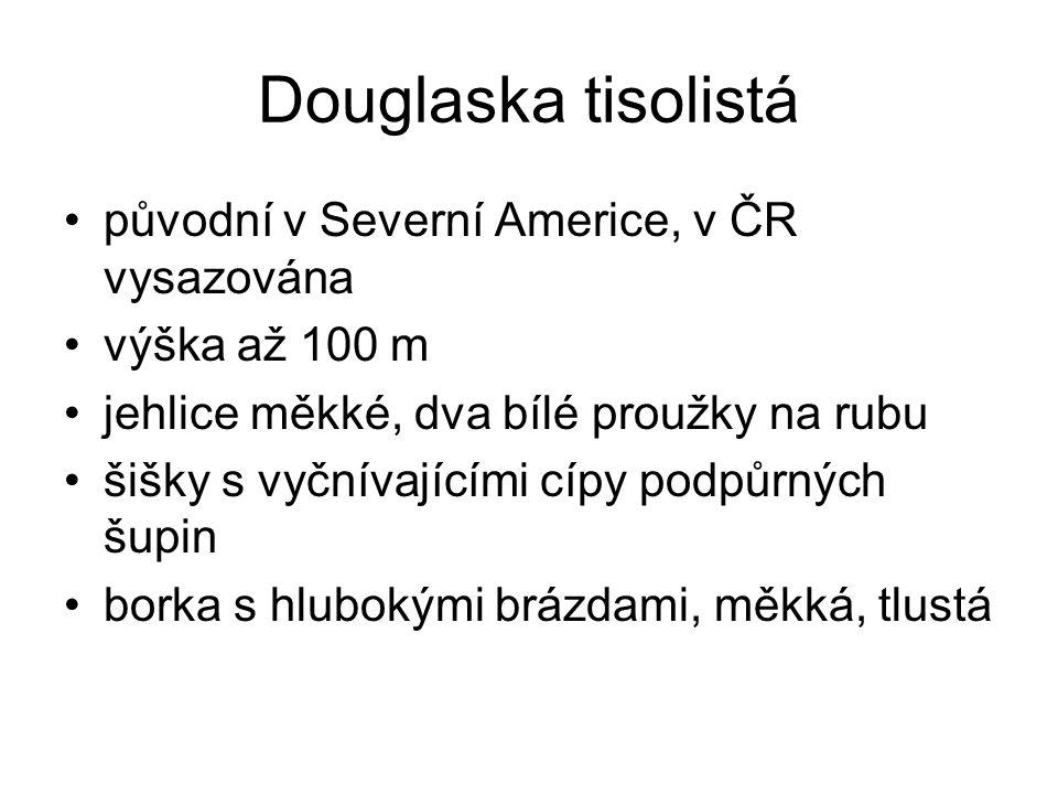 Douglaska tisolistá původní v Severní Americe, v ČR vysazována