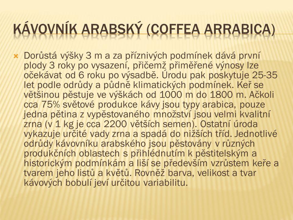 Kávovník arabský (Coffea arrabica)
