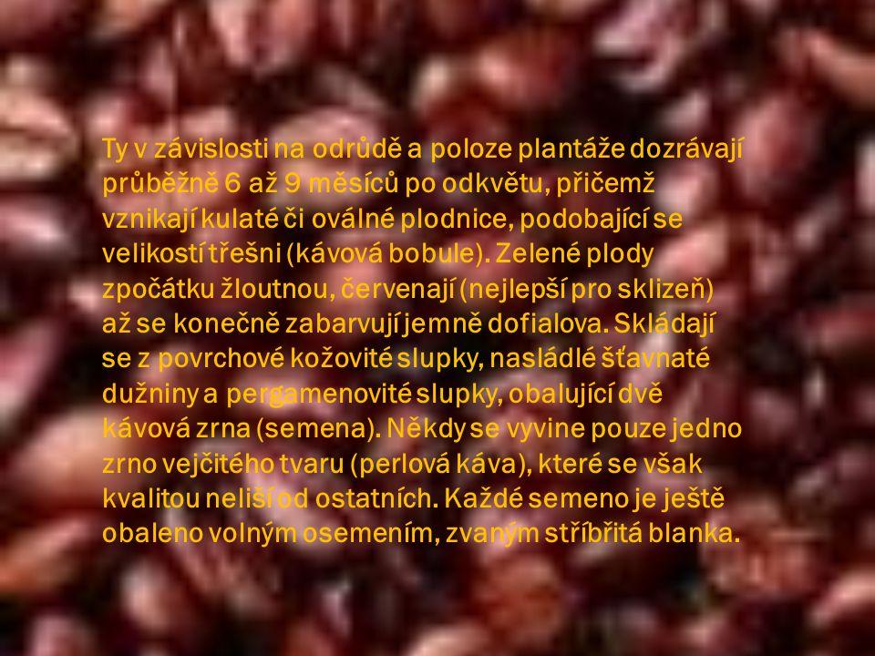 Ty v závislosti na odrůdě a poloze plantáže dozrávají průběžně 6 až 9 měsíců po odkvětu, přičemž vznikají kulaté či oválné plodnice, podobající se velikostí třešni (kávová bobule).
