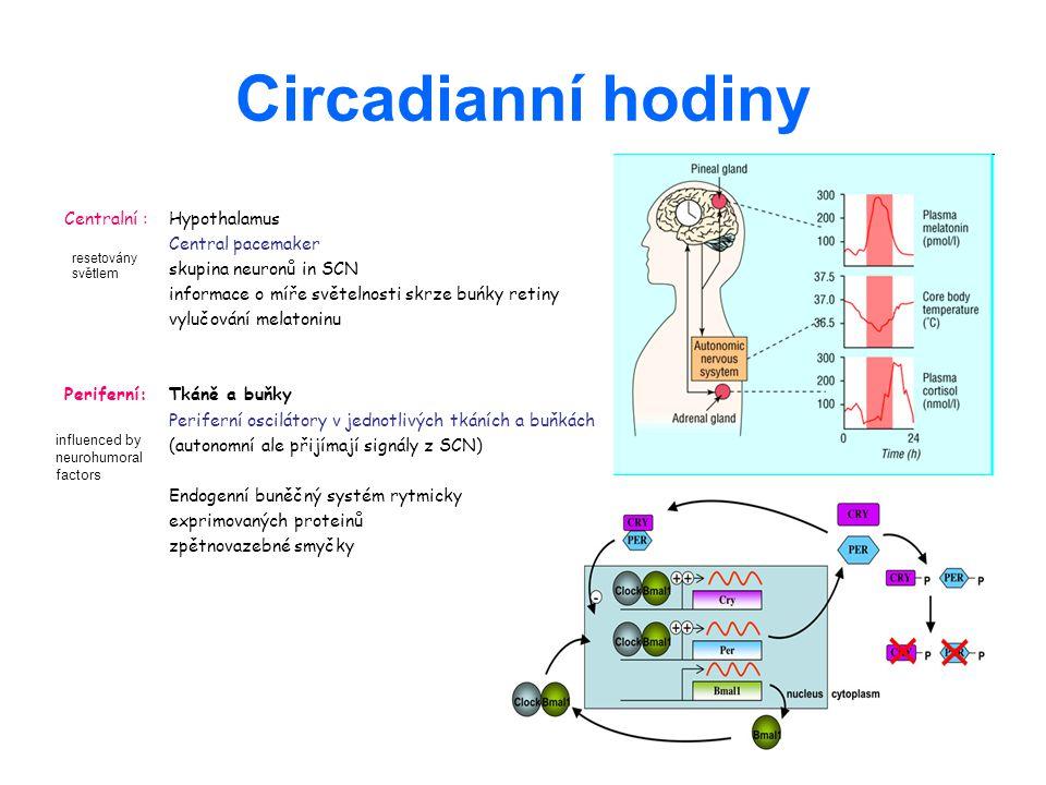 Circadianní hodiny Centralní : Hypothalamus Central pacemaker