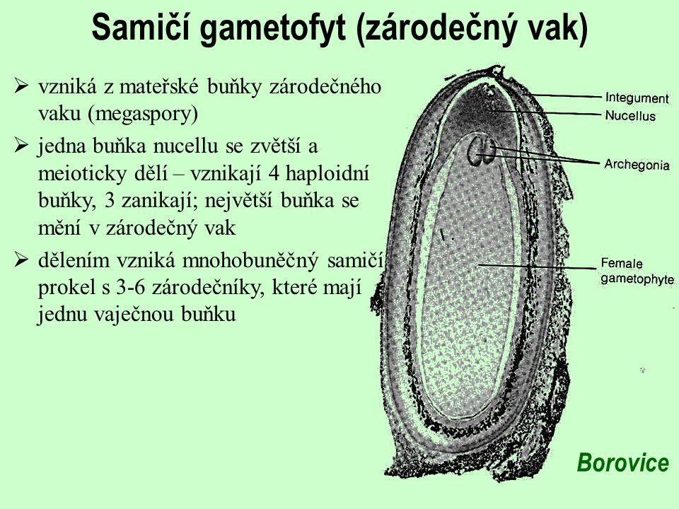 Samičí gametofyt (zárodečný vak)