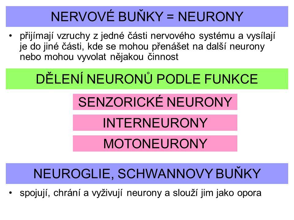 NERVOVÉ BUŇKY = NEURONY