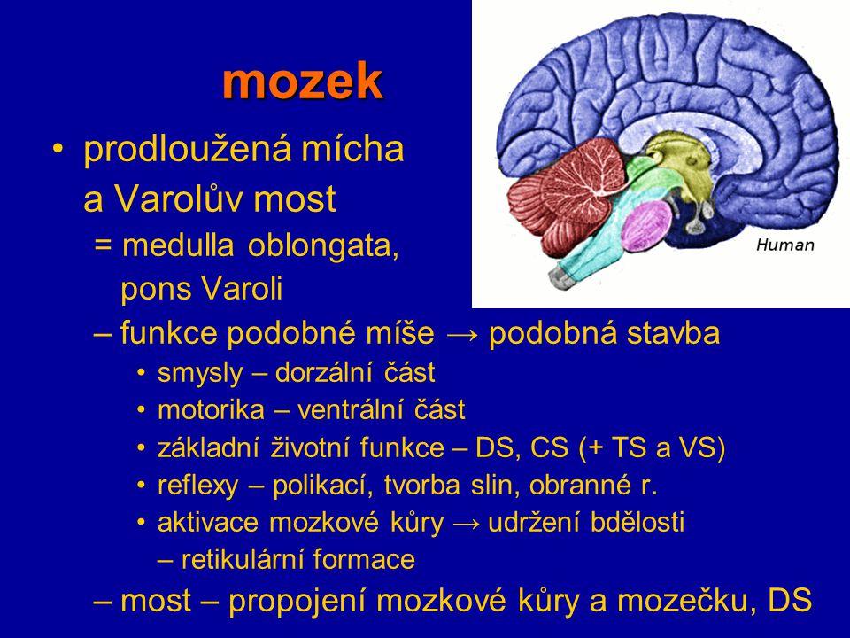 mozek prodloužená mícha a Varolův most = medulla oblongata,