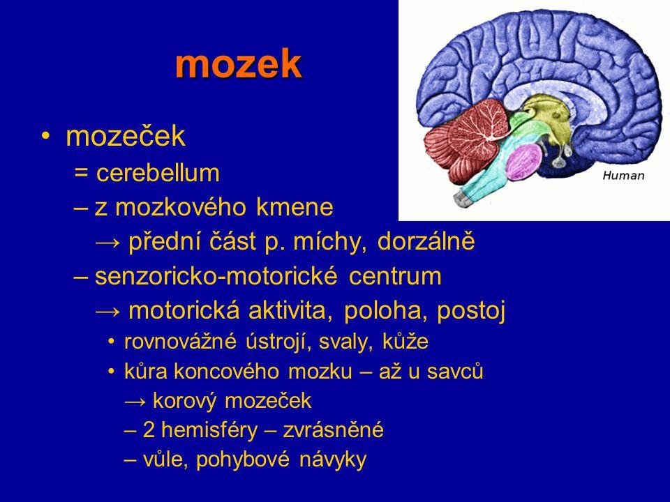 mozek mozeček = cerebellum z mozkového kmene