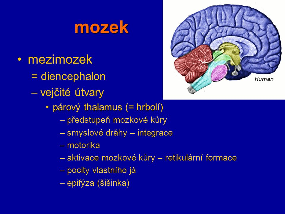 mozek mezimozek = diencephalon vejčité útvary