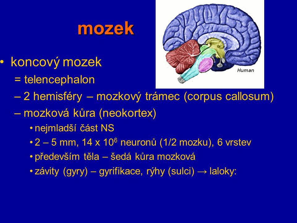 mozek koncový mozek = telencephalon