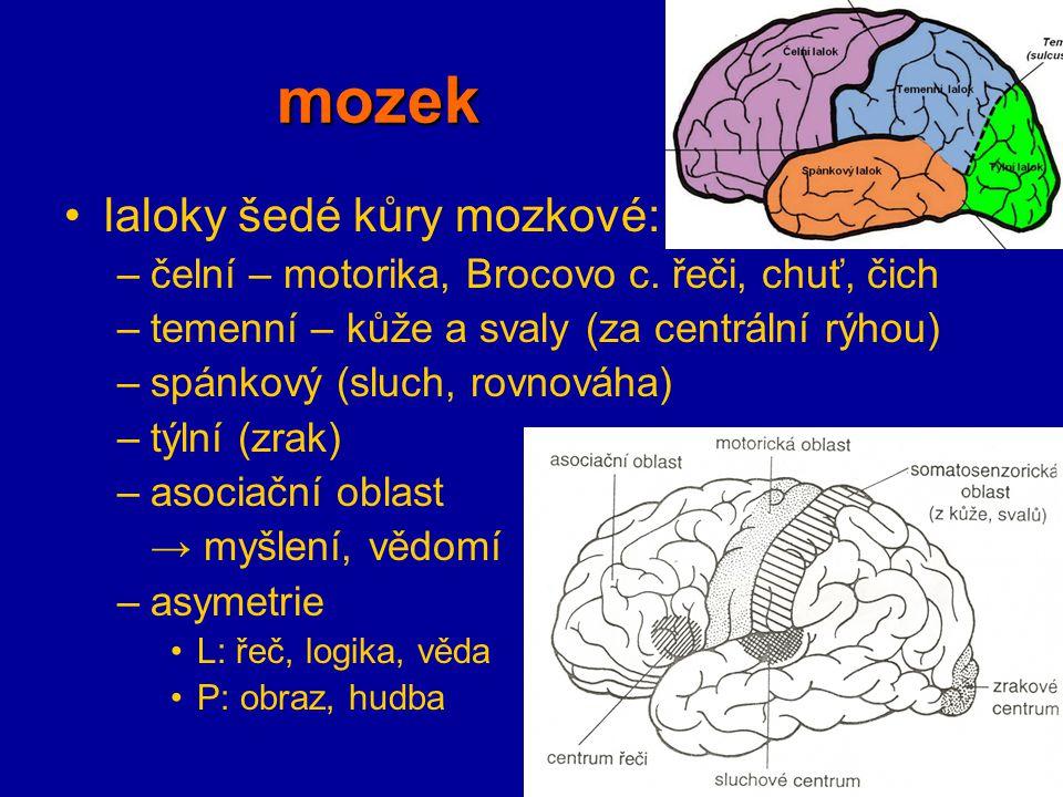 mozek laloky šedé kůry mozkové: