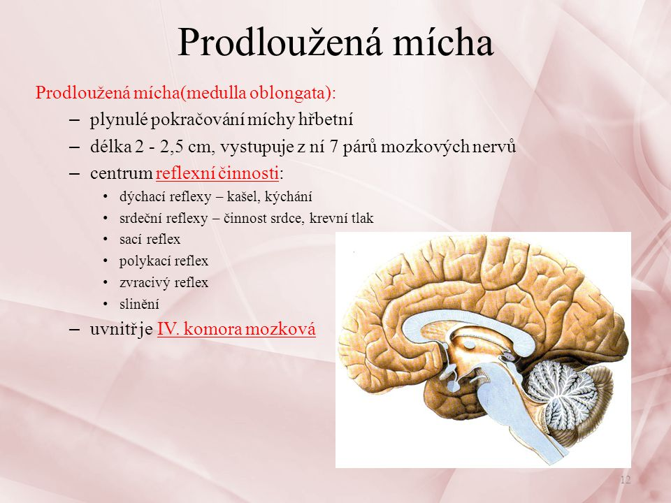 Prodloužená mícha Prodloužená mícha(medulla oblongata):