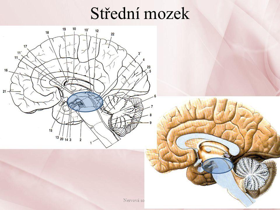 Střední mozek Nervová soustava
